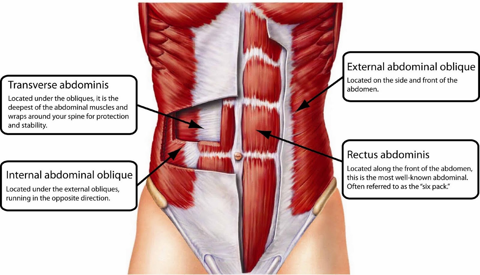on back muscle diagram front and torso anterior labeled anatomy